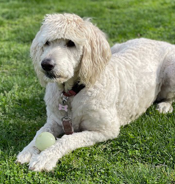 Labradoodle with ball.